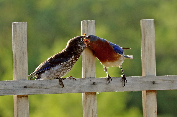 Male Eastern Bluebird Feeding Young #2