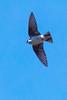 Swallow8780