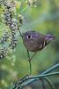 Bird2272 - Ruby Crowned Kinglet