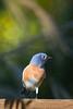 Bluebird4727