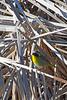Common Yellowthroat7472