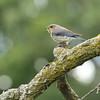 Eastern Bluebird With Prey #3 (Sialia sialis)