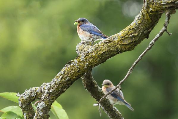 "Eastern Bluebird Pair ""Team Work"" (Sialia sialis)"