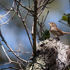 A House Wren sings an early morning song in Briones part of the East Bay Regional Park system in Lafayette, CA.