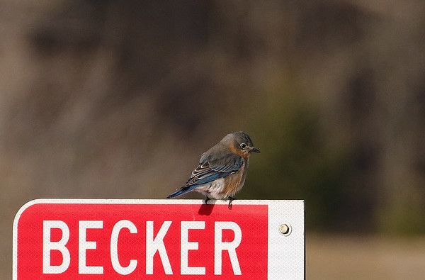 First Eastern Bluebird for the Season
