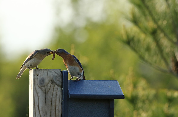 Male Eastern Bluebird Passing A Tasty Worm To His Mate