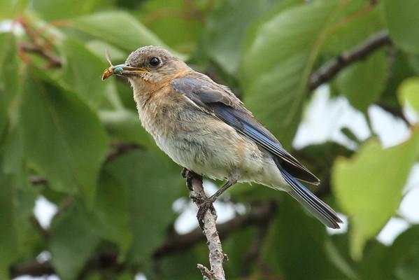 Eastern Bluebird With Prey #4 (Sialia sialis)