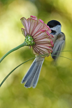 Black-Capped Chickadee On Zinnia #2 (Parus atricapillus)