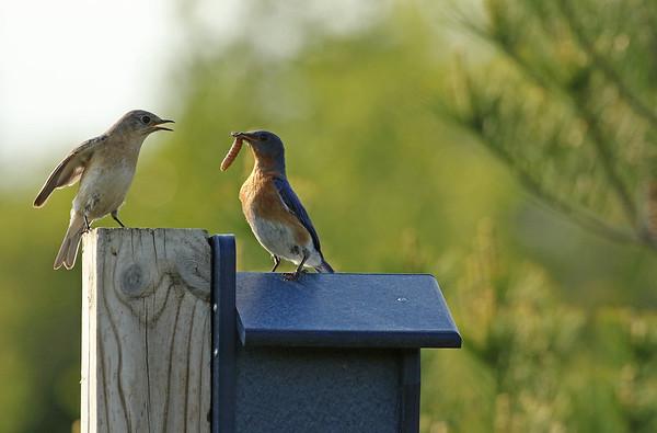 Male Eastern Bluebird Feeding Female Eastern Bluebird A Worm