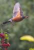 Robin(8x12)9088