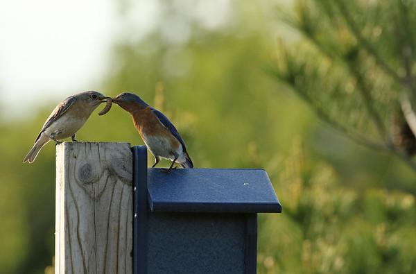 Eastern Bluebird feeding