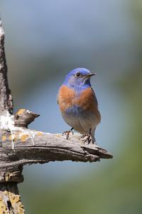 Male Western Bluebird Guarding HIs Nesthole