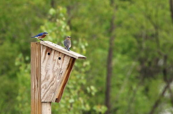 Eastern Bluebird Pair On Nest Box