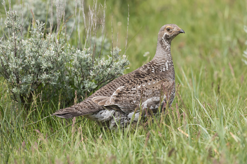 A blue grouse walks through a meadow in Yellowstone National Park