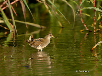 The highly elusive Sora (Porzana carolina) with tail pointed up, L.A. River at sunset on 8-20-12
