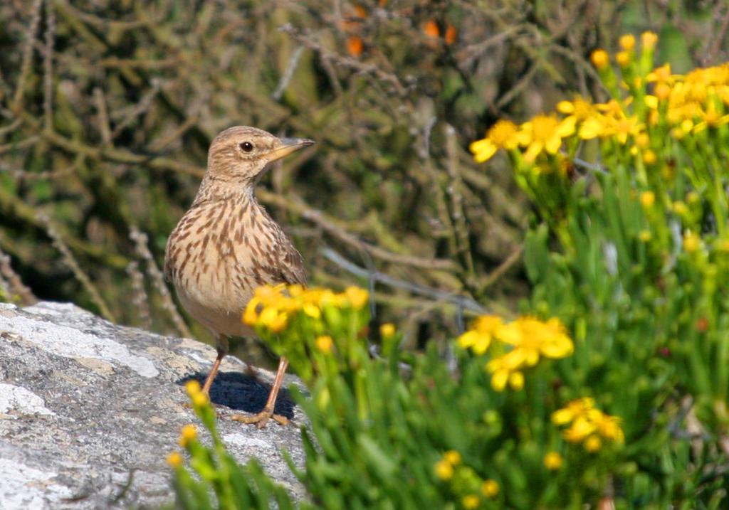 Large-billed (Southern Thick-billed) Lark - (endemic) Note heavy base bill and yellow at the base of the lower mandible.