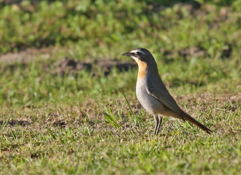 Cape Robin-chat ?