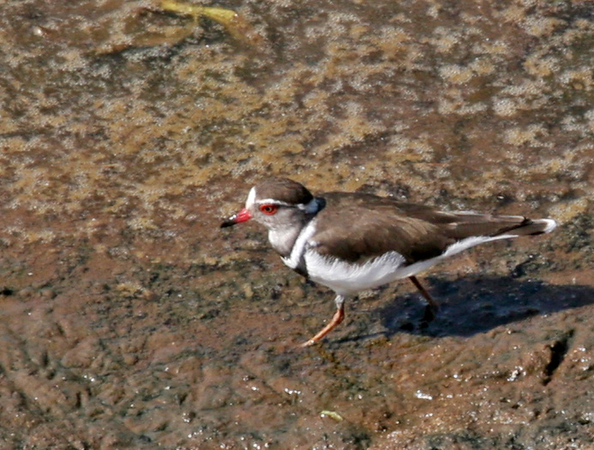 Common Ring Plover - Photgraphed at Crocodile River Bridge. We also observed this plover at the Pine Park Inn.