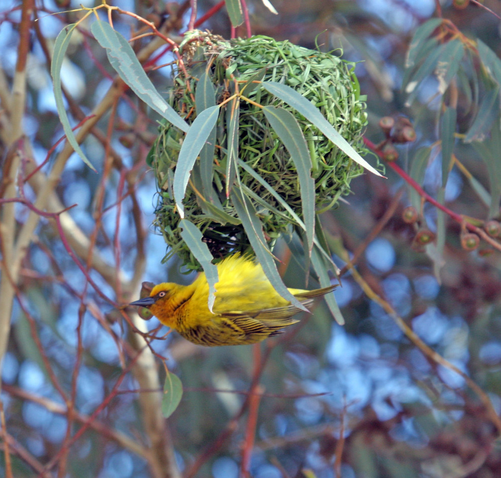 Cape Weaver photographed near Geelbek Goldfields in West Coast National Park. These birds were nesting communally in eucatyptus trees near the Center (endemic).