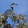 This Black-headed Heron was photographed in a row of eucatyptus trees in West Coast National Park.