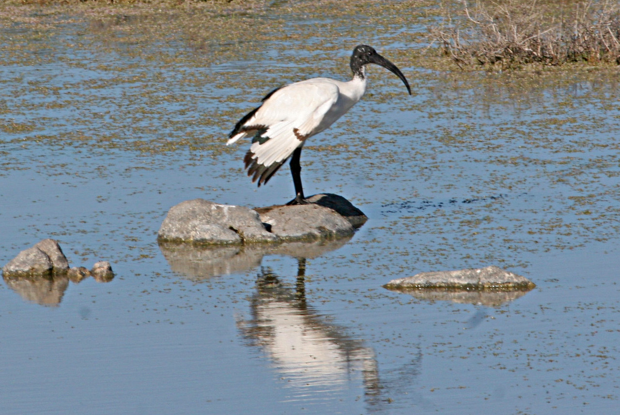 African Scared Ibis - Photographed at West Coast National Park fresh water watering hole.