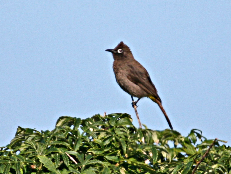 Cape Bulbul (endemic) - The offset white eye-ring is unmistakable. West Coast National Park