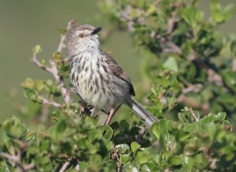 Karoo (Spotted)Prinia - West Coast National Park (endemic)