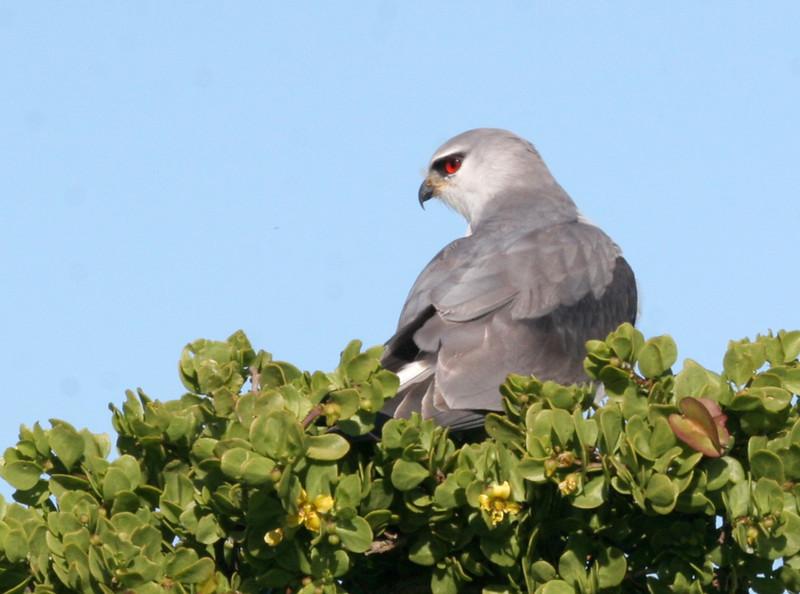 Black-shouldered Kite - West Coast National Park.