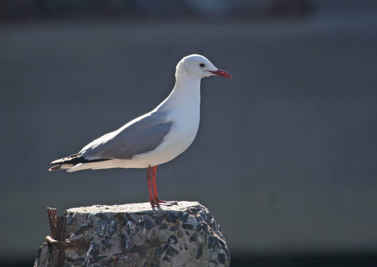 Hartlaub's Gull - (endemic) Photographed at Hout Bay area.