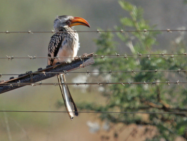 A Yellow-billed Hornbill observered at Kwa Madwala Game Preserve.