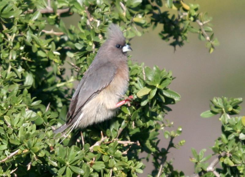 White-backed Mousebird - West Coast National Park (near endemic)