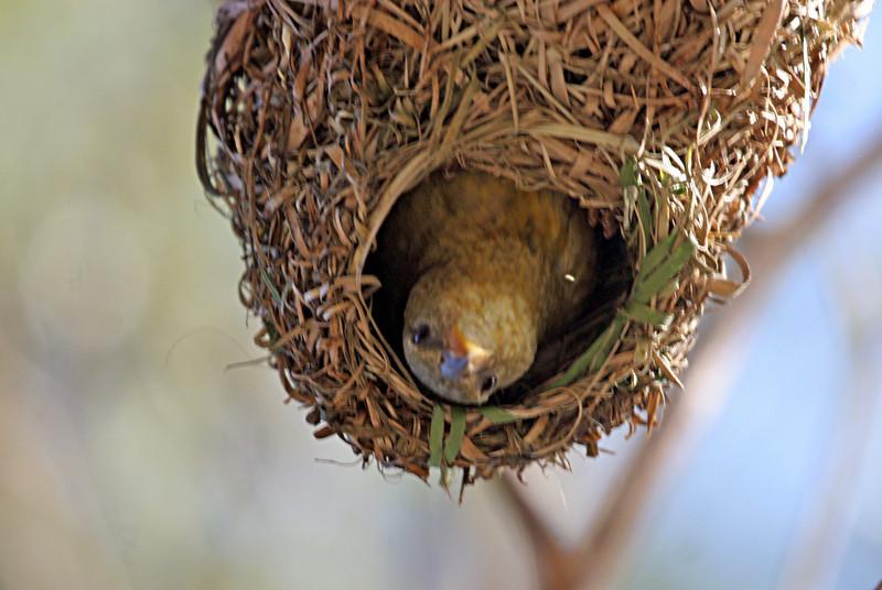 Cape Weaver nest