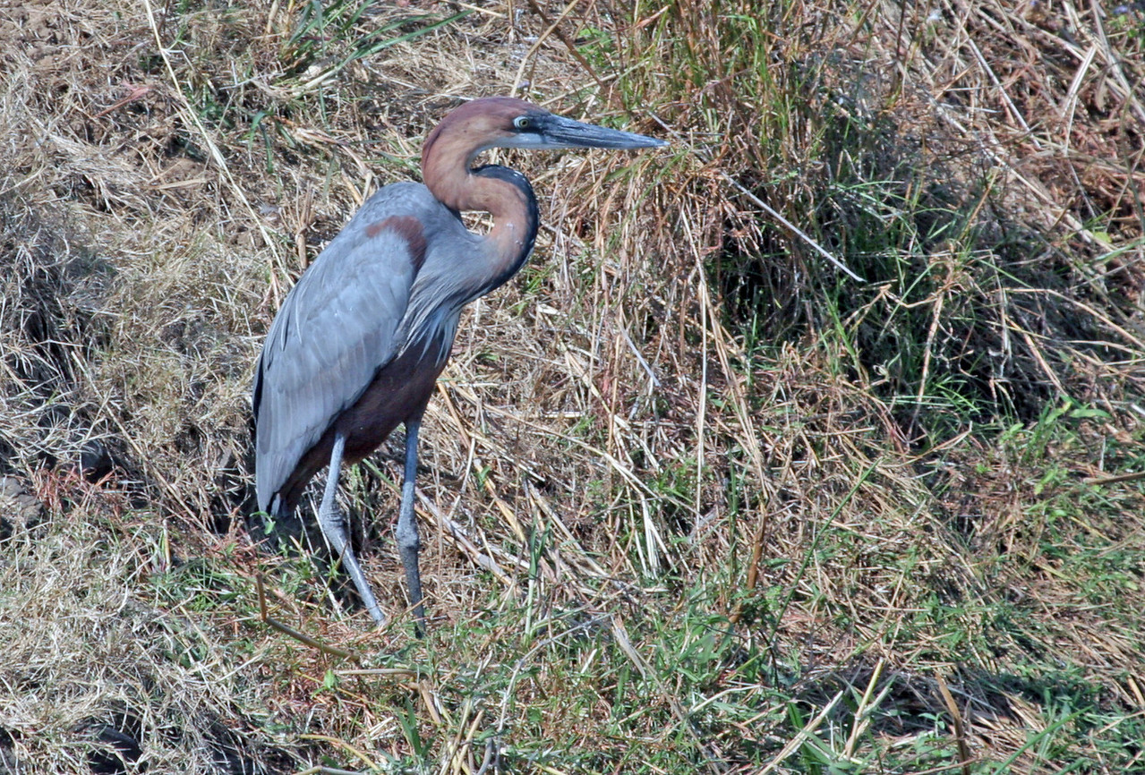 The Goliath Heron is the world's largest heron. Common resident at Kruger National Park. Photographed from Crocodile Bridge.