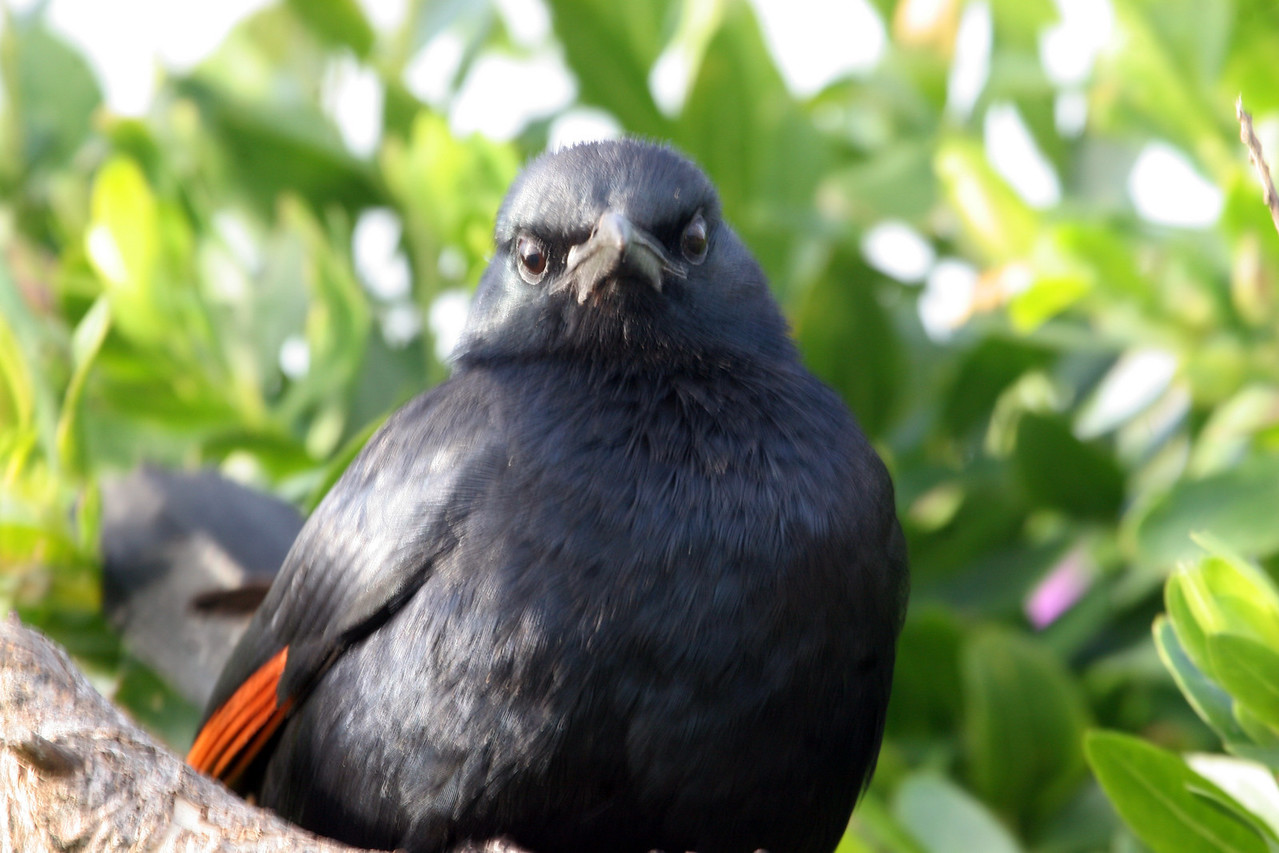 Red-winged Starling. Very common resident.