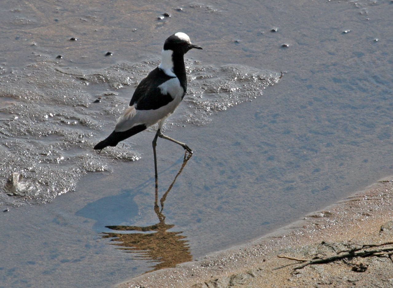 Blacksmith Lapwing (Plover), a common resident of Kruger National Park. Photographed at Crocodile River Bridge.