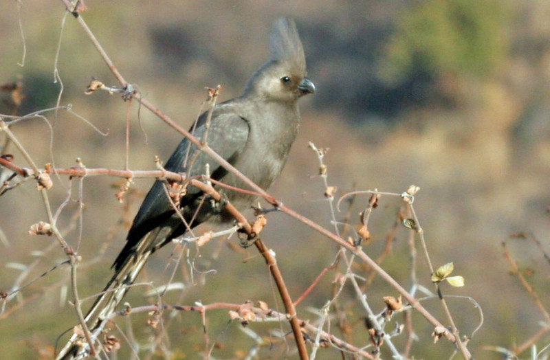 Grey Go-away-bird (Lourie). Common resident and seen throughout the Mpumalanga Providence. Gets its name because they can become very annoying.
