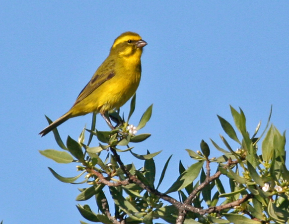 Yellow Canary a near-endemic at West Coast National Park.