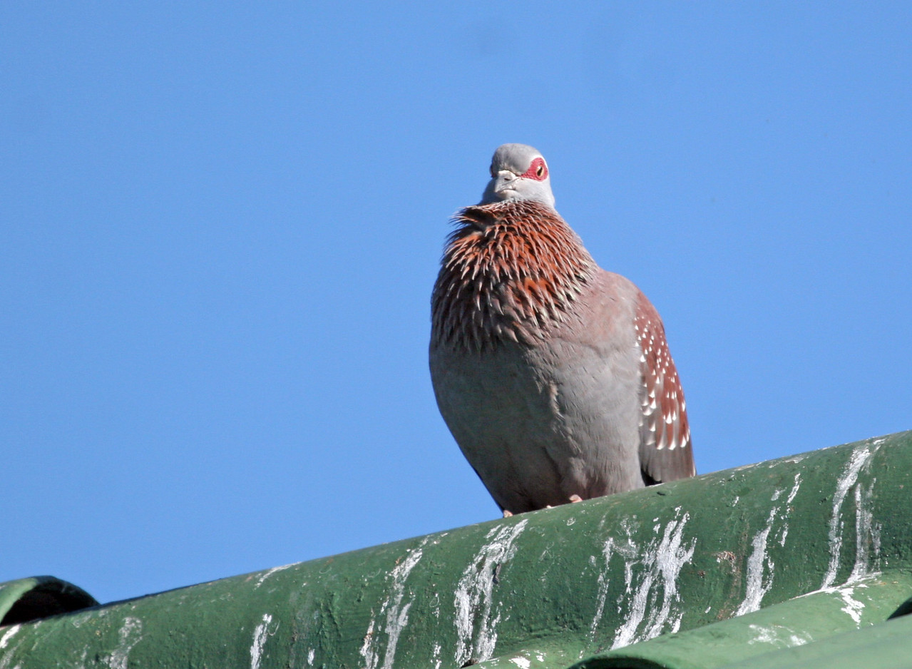 Speckled Rock Pigeon - Photographed at Hout Bay area.