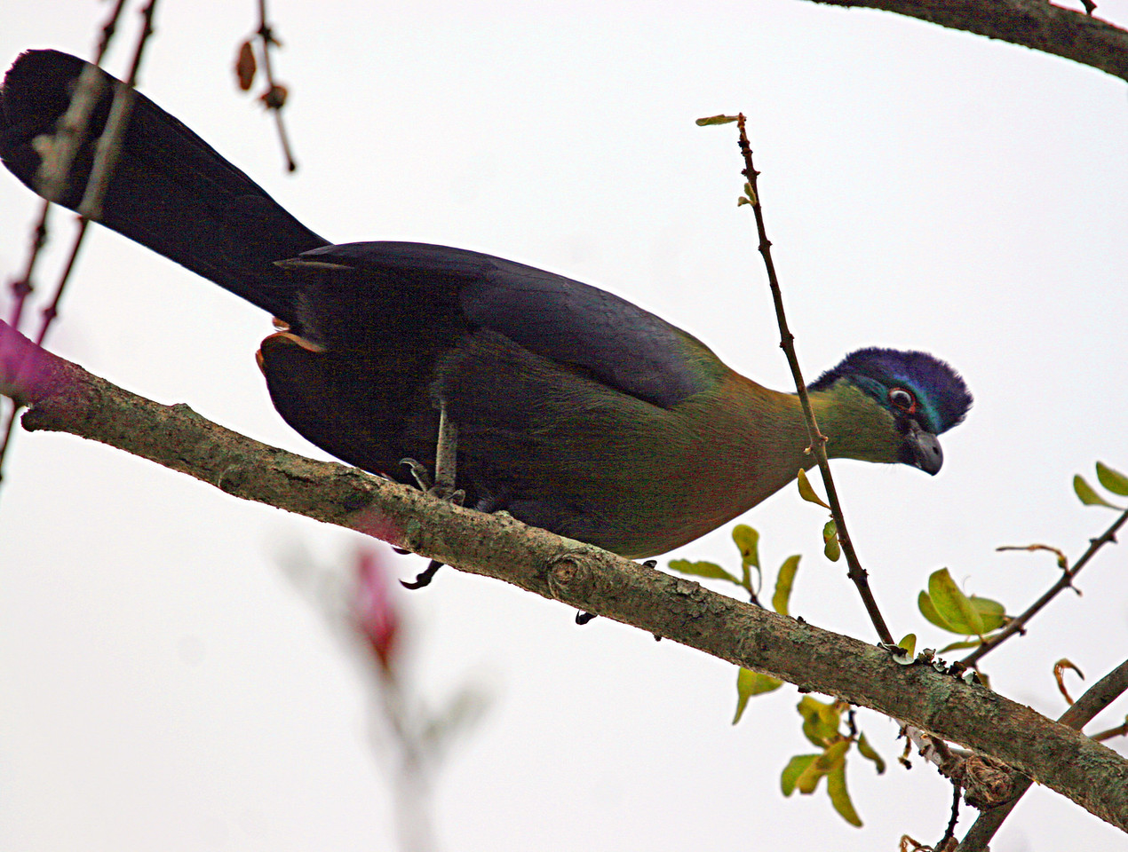 Purple-crested Turaco (Lourie)