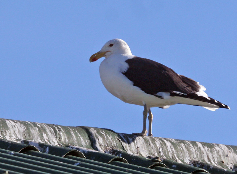 Cape (Kelp) Gull - The largest resident gull of the region. Photographed at Hout Bay area.