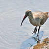 Hadeda Ibis photographed in Kruger National Park, we also observed him at West Coast National Park.