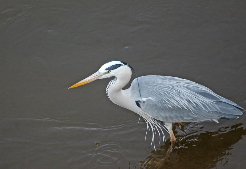 Grey Heron at Crocodile River Bridge in Kruger National Park.