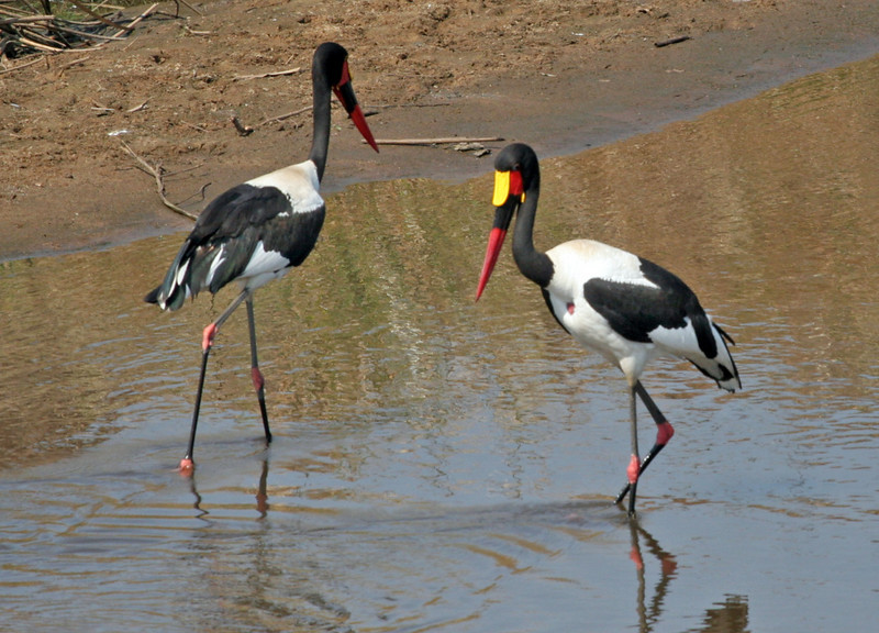 A pair of Saddle-billed Stork in the Crocodile River at Kruger National Park. Photo was taken at the Crocodile Bridge Gate.