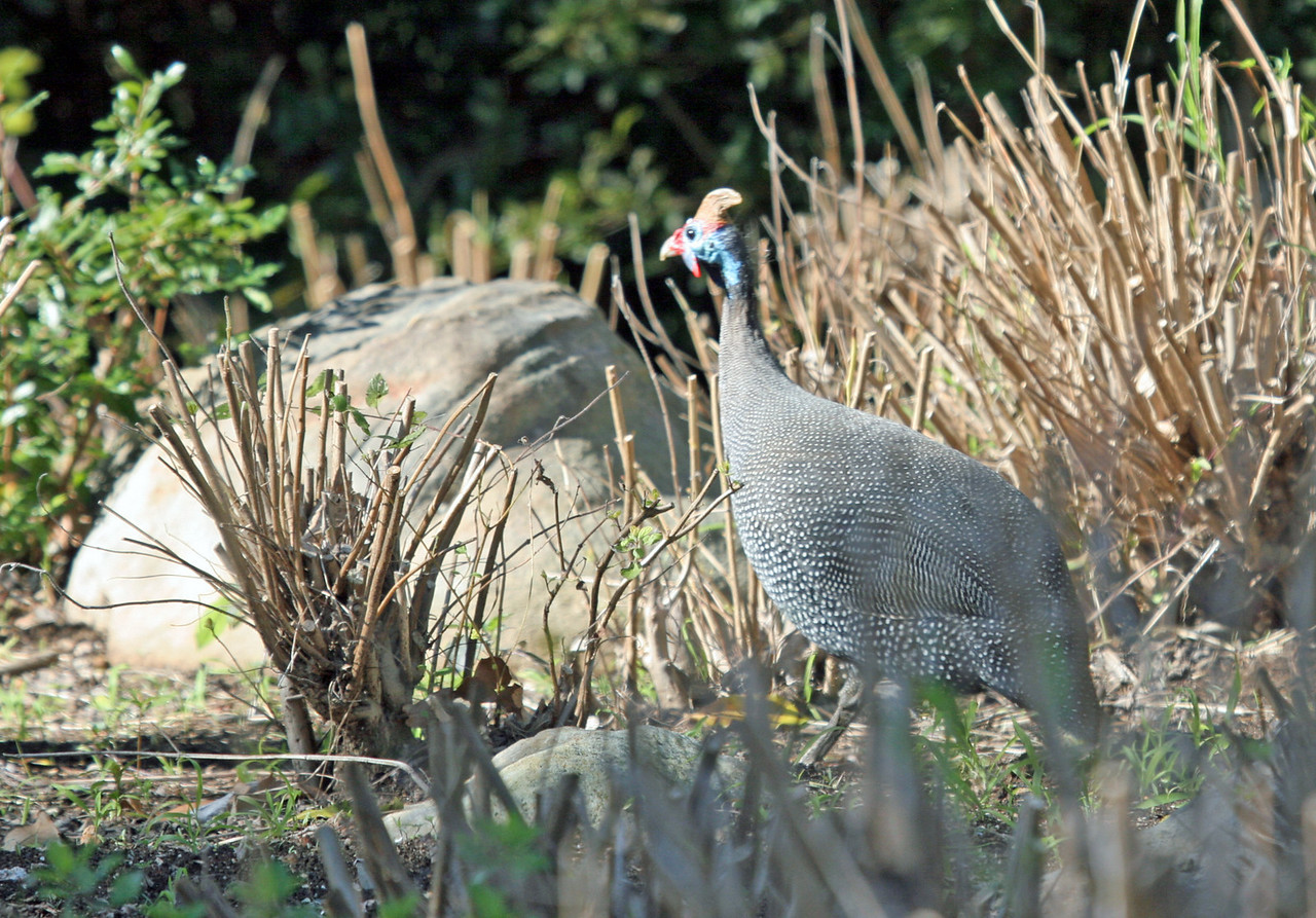 Helmeted Guineafowl - Photographed at West Coast National Park. We also observed them in Hannah Lodge Game Reserve.