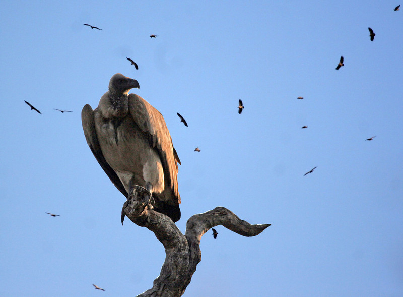 This is a composite photo of a White-backed Vulture with a background of vultures kettling in the mid-morning thermal at Kwa Madwala Game Reserve.