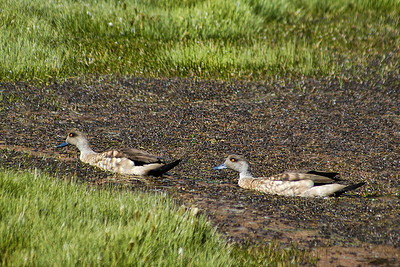 Patagonia Crested Ducks