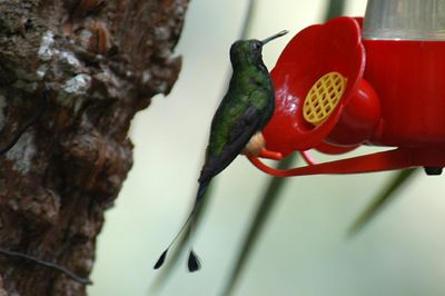 Booted Racket-tailed Hummingbird