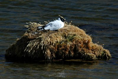 Andean Gull (on nest)