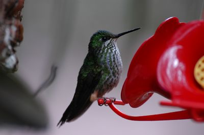 Booted Racket-tailed Hummingbird (female)
