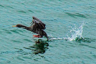 Red-legged Cormorant